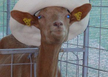 zame-so-koze-kraljice