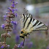 Bodite metulj!
